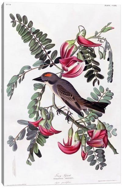 Gray Tyrant Flycatcher Canvas Print #VAC327