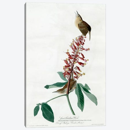 Great Carolina Wren Canvas Print #VAC328} by Vintage Apple Collection Canvas Artwork