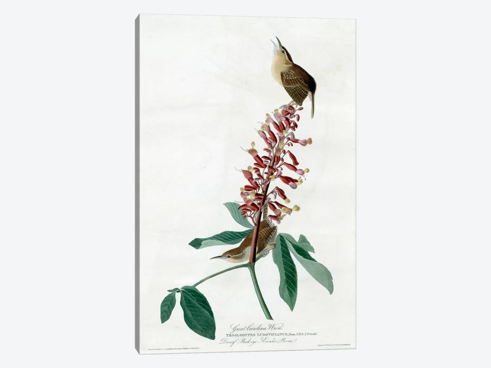 Great Carolina Wren by Vintage Apple Collection 1-piece Canvas Art