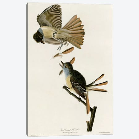 Great Crested Flycatcher Canvas Print #VAC329} by Vintage Apple Collection Canvas Wall Art
