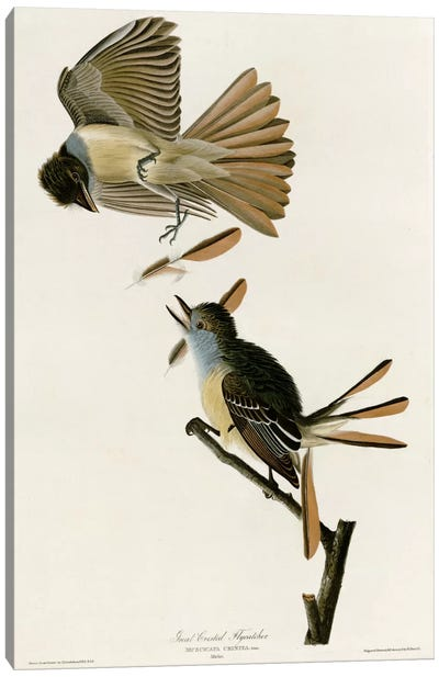Great Crested Flycatcher Canvas Print #VAC329