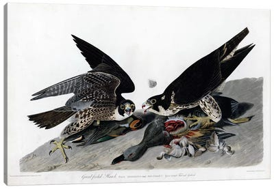 Greatfooted Hawk Canvas Art Print
