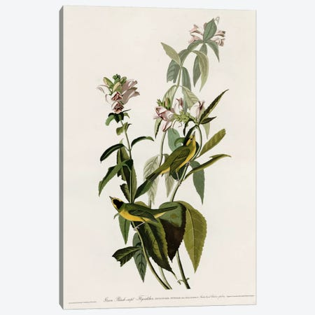 Greenblack-Capt Flycatcher Canvas Print #VAC332} by Vintage Apple Collection Canvas Print