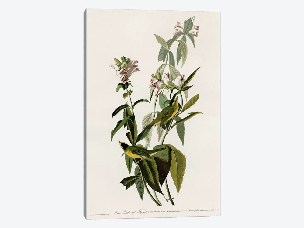 Greenblack-Capt Flycatcher by Vintage Apple Collection 1-piece Canvas Art Print