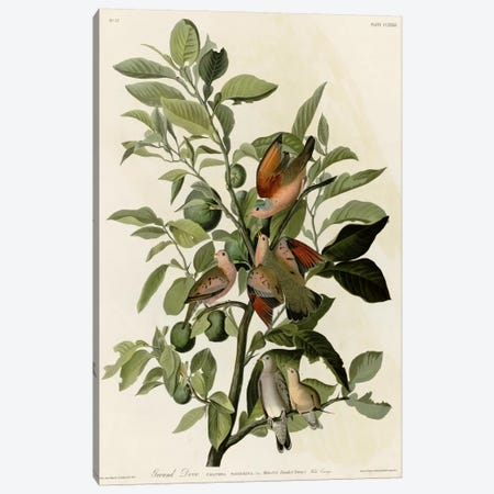 Ground Dove Canvas Print #VAC333} by Vintage Apple Collection Canvas Art Print