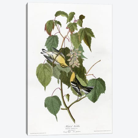 Hemlock Warbler Canvas Print #VAC334} by Vintage Apple Collection Canvas Artwork
