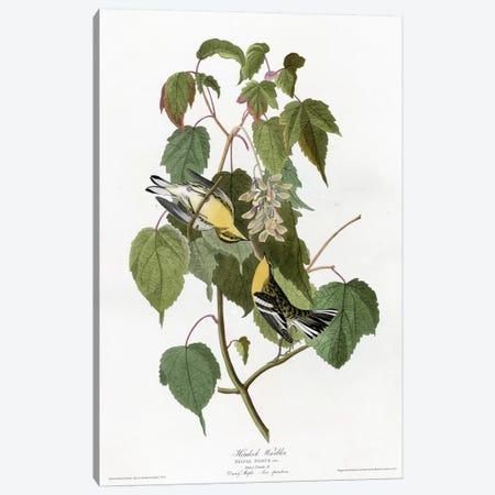 Hemlock Warbler Canvas Print #VAC334} by Vintage Apple Collection Canvas Artwork