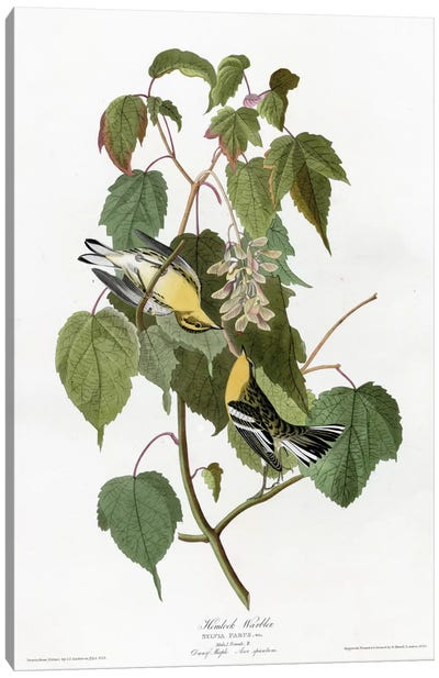 Hemlock Warbler Canvas Art Print