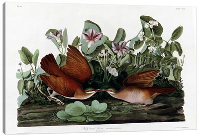 Key West Dove Canvas Art Print