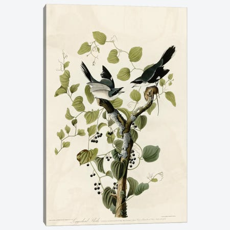 Loggerhead Shrike Canvas Print #VAC338} by Vintage Apple Collection Canvas Art Print