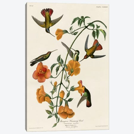 Mangrove Hummingbird Canvas Print #VAC341} by Vintage Apple Collection Canvas Artwork