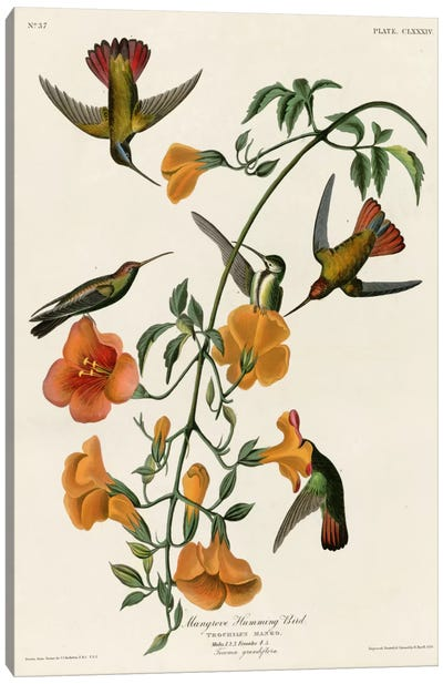 Mangrove Hummingbird Canvas Art Print