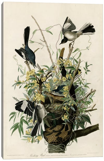 Mocking Bird Canvas Print #VAC344