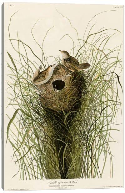 Nuttall's Lesser-Marsh Wren Canvas Art Print