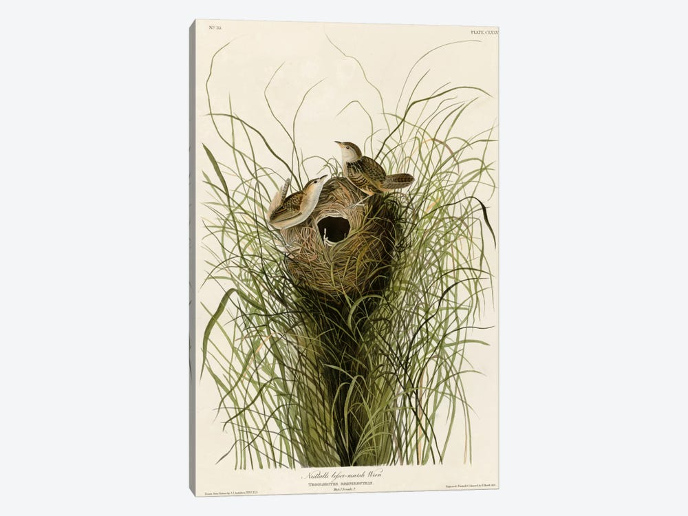 Nuttall's Lesser-Marsh Wren by Vintage Apple Collection 1-piece Canvas Artwork