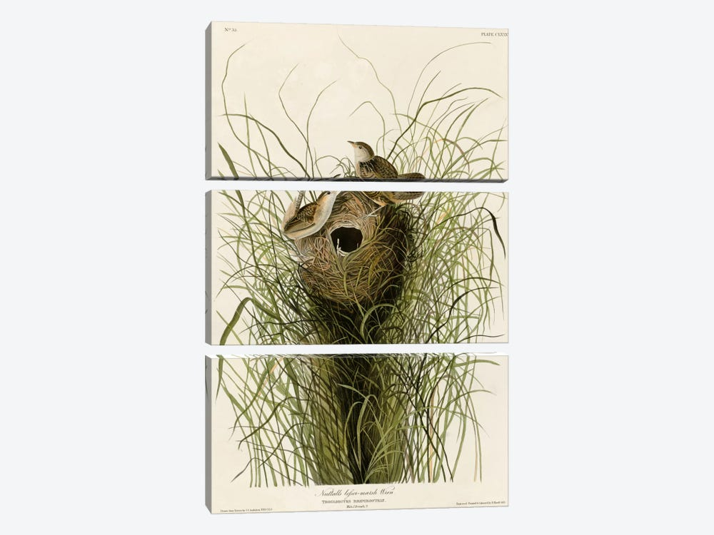 Nuttall's Lesser-Marsh Wren by Vintage Apple Collection 3-piece Canvas Wall Art