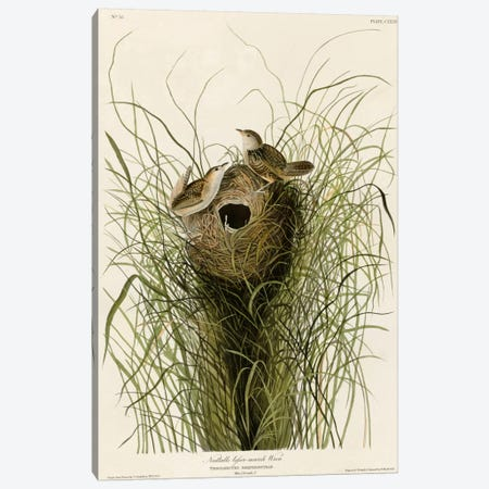 Nuttall's Lesser-Marsh Wren Canvas Print #VAC346} by Vintage Apple Collection Canvas Print