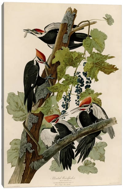 Pileated Woodpecker Canvas Art Print
