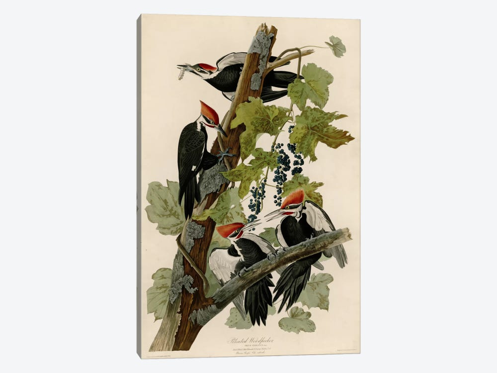 Pileated Woodpecker by Vintage Apple Collection 1-piece Art Print