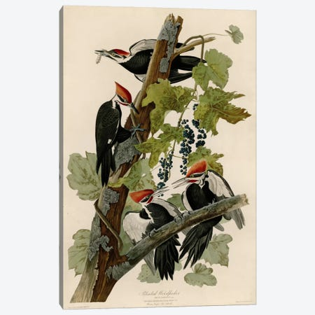 Pileated Woodpecker Canvas Print #VAC350} by Vintage Apple Collection Canvas Print