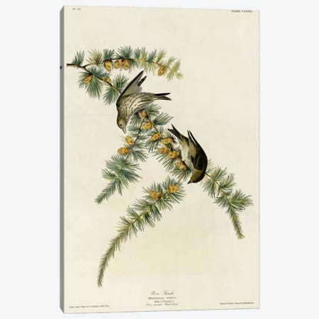 Pine Finch Canvas Print #VAC352} by Vintage Apple Collection Canvas Art Print