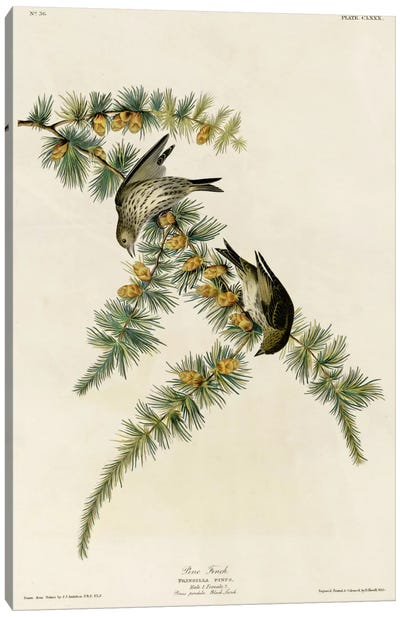 Pine Finch Canvas Print #VAC352