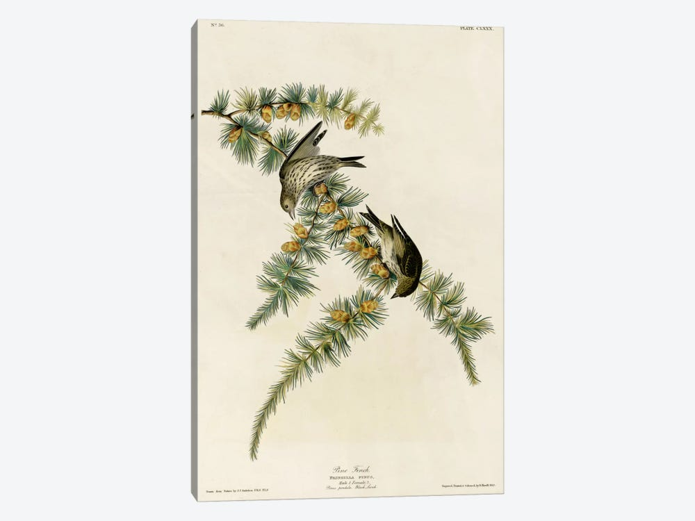 Pine Finch by Vintage Apple Collection 1-piece Art Print