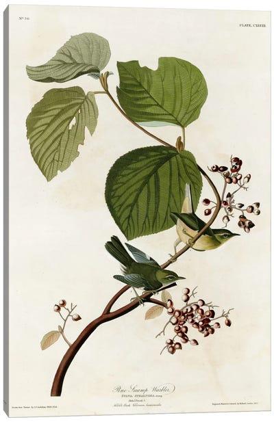 Pine Swamp Warbler Canvas Art Print