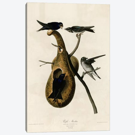 Purple Martin Canvas Print #VAC356} by Vintage Apple Collection Canvas Artwork