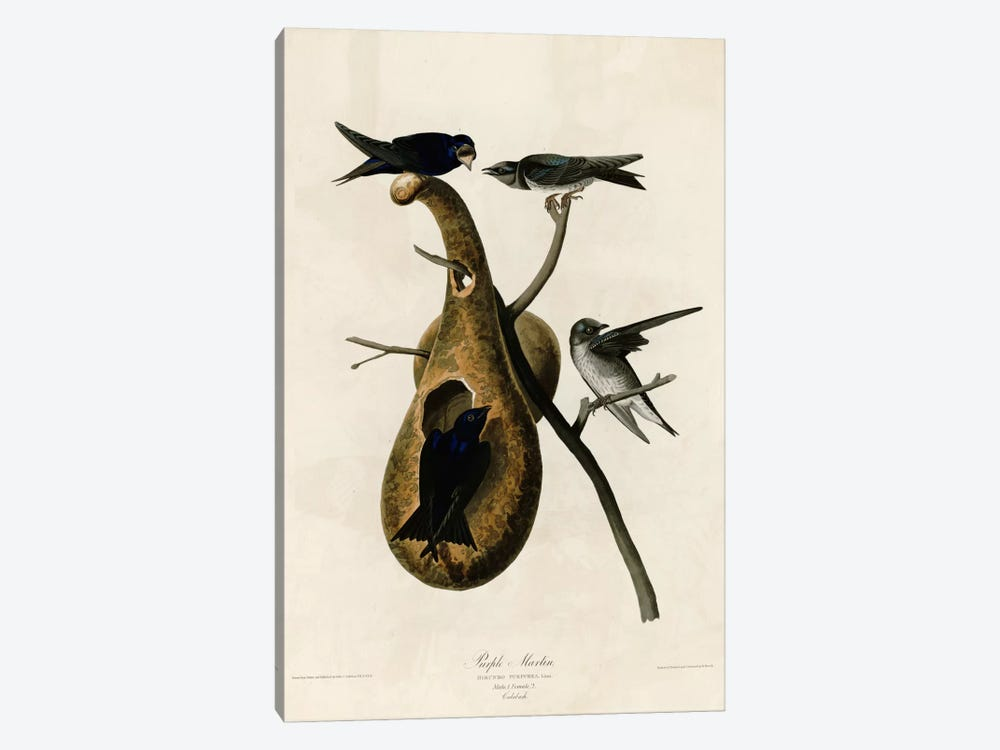 Purple Martin by Vintage Apple Collection 1-piece Canvas Print