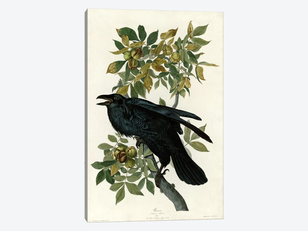 Raven by Vintage Apple Collection 1-piece Canvas Wall Art