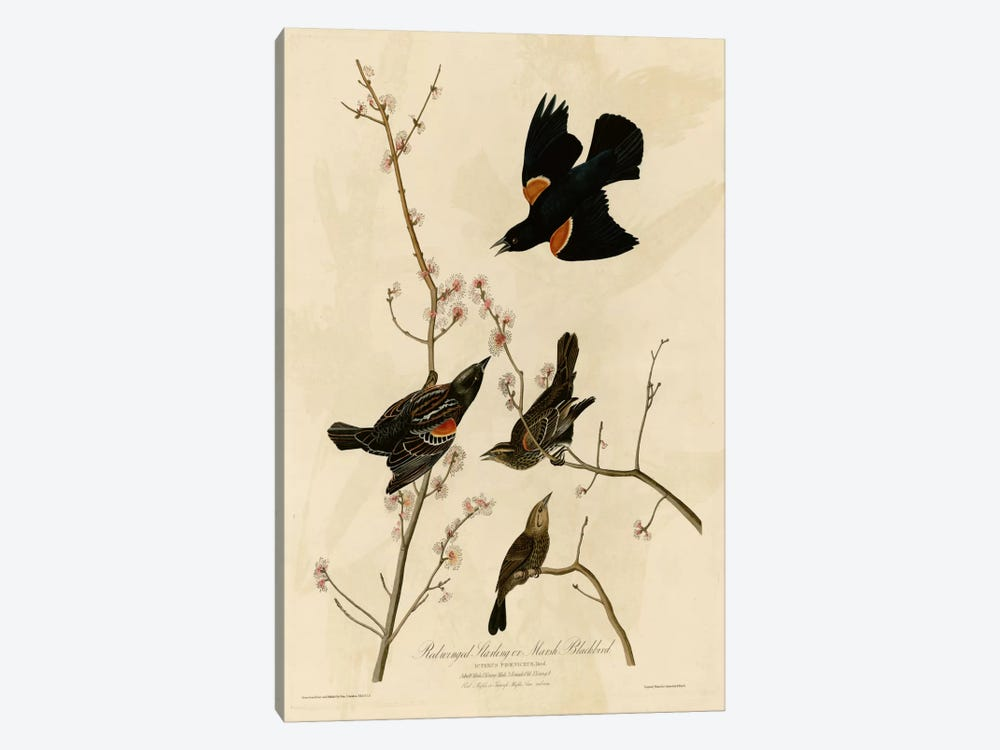 Redwinged Starling by Vintage Apple Collection 1-piece Canvas Wall Art