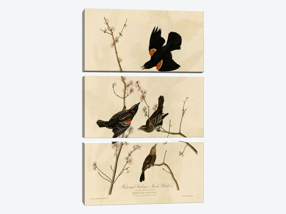 Redwinged Starling by Vintage Apple Collection 3-piece Canvas Art