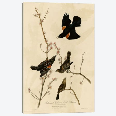 Redwinged Starling Canvas Print #VAC360} by Vintage Apple Collection Canvas Wall Art