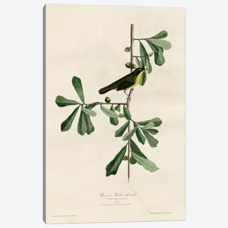 Roscoesyellow Throat Canvas Print #VAC361} by Vintage Apple Collection Canvas Artwork