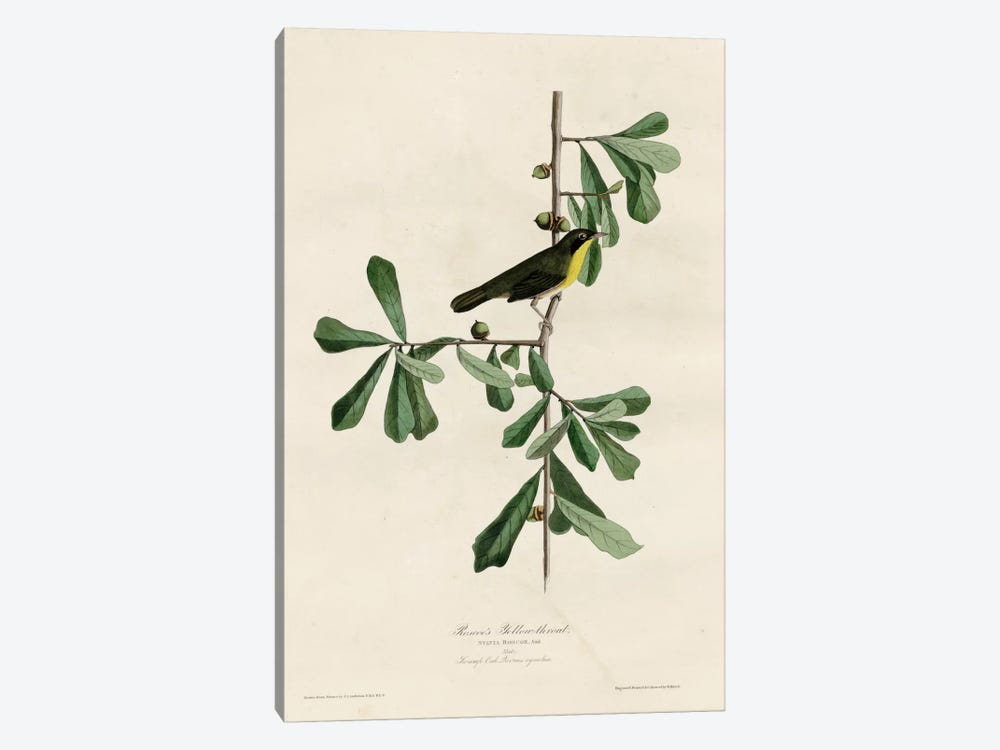 Roscoesyellow Throat by Vintage Apple Collection 1-piece Canvas Print