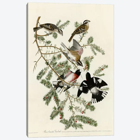 Rose Breasted Grosbeak Canvas Print #VAC362} by Vintage Apple Collection Canvas Art