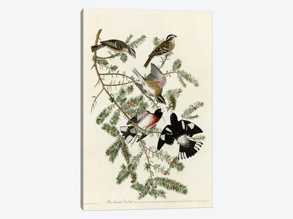 Rose Breasted Grosbeak by Vintage Apple Collection 1-piece Canvas Artwork