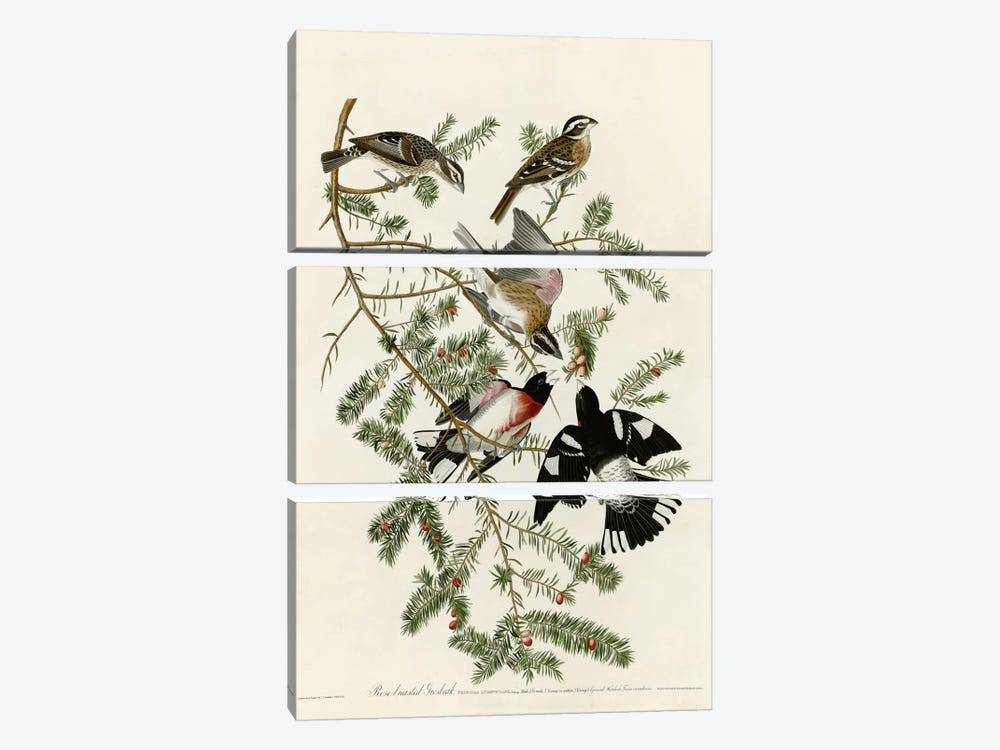 Rose Breasted Grosbeak by Vintage Apple Collection 3-piece Canvas Wall Art