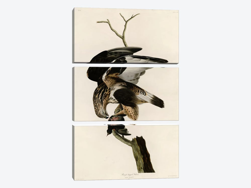 Rough Legged Falcon by Vintage Apple Collection 3-piece Canvas Print