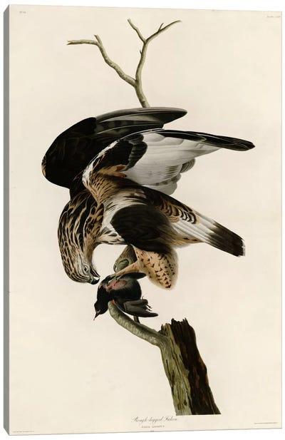 Rough Legged Falcon Canvas Art Print