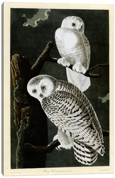 Snowy Owl Canvas Print #VAC371