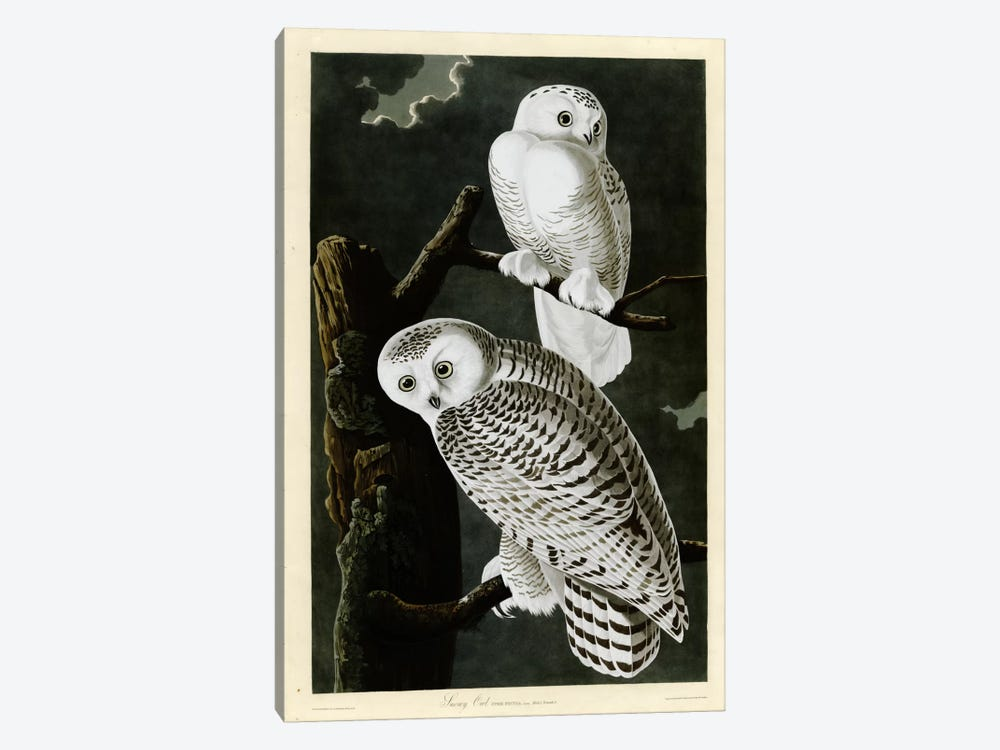 Snowy Owl by Vintage Apple Collection 1-piece Canvas Art