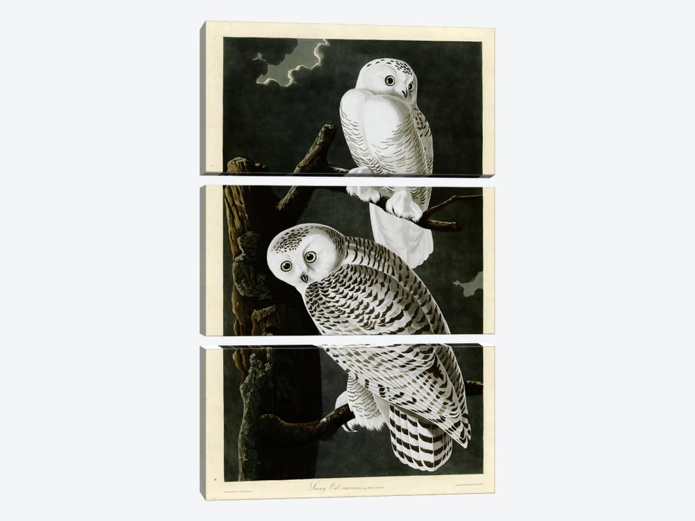 Snowy Owl by Vintage Apple Collection 3-piece Canvas Wall Art