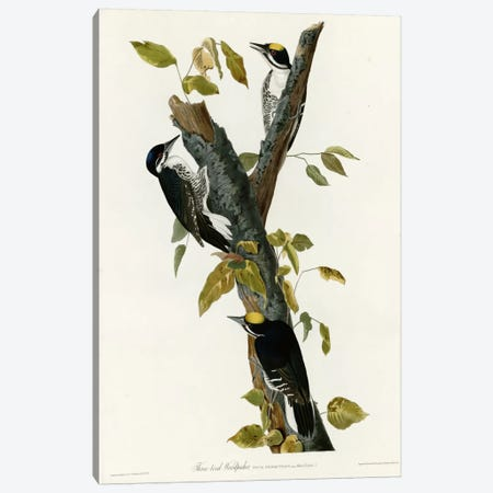 Three Toed Woodpecker Canvas Print #VAC378} by Vintage Apple Collection Canvas Print
