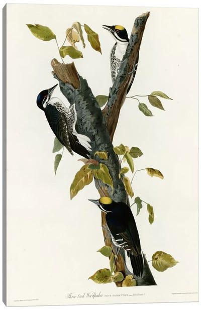 Three Toed Woodpecker Canvas Print #VAC378