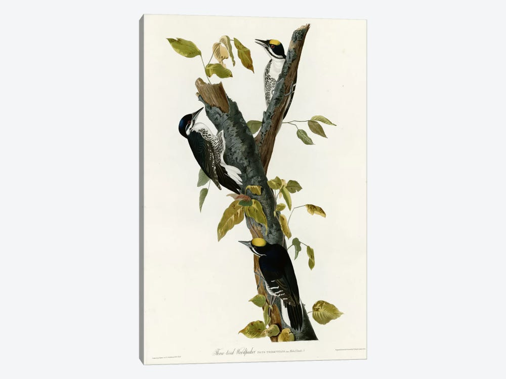 Three Toed Woodpecker by Vintage Apple Collection 1-piece Canvas Art Print