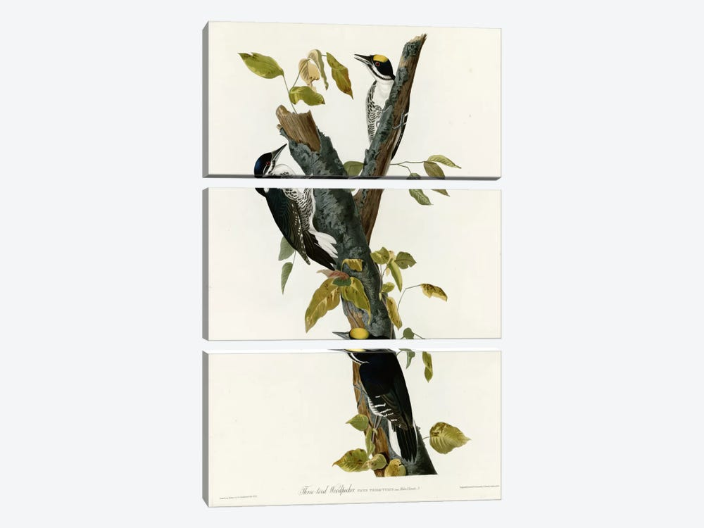 Three Toed Woodpecker by Vintage Apple Collection 3-piece Canvas Art Print