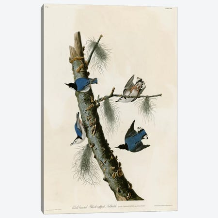 Whitebreasted Black Capped Nuthatch Canvas Print #VAC388} by Vintage Apple Collection Canvas Wall Art