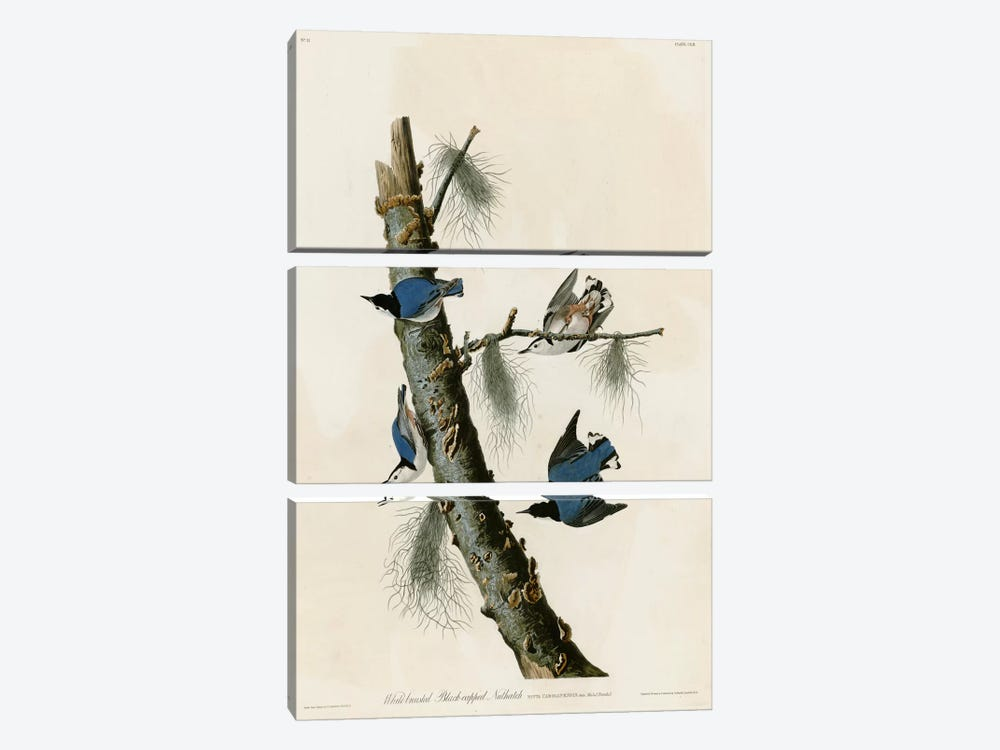 Whitebreasted Black Capped Nuthatch by Vintage Apple Collection 3-piece Canvas Wall Art